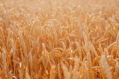 Primer del trigo en el campo imágenes de archivo libres de regalías