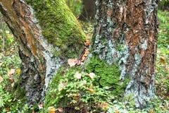 Primer del tronco bifurcado del abedul, cubierto con el musgo y el liquen en bosque del verano, Rusia Foto de archivo libre de regalías