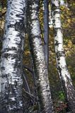 Primer del tronco de árboles de abedul Foto de archivo libre de regalías