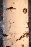 Primer del tronco del abedul en la luz de la puesta del sol Foto de archivo libre de regalías