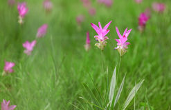 Primer del tulipán Imagenes de archivo