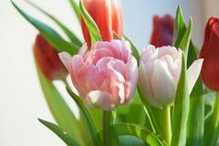Primer del tulipán de Rose Fotografía de archivo libre de regalías