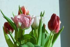 Primer del tulipán de Rose Fotografía de archivo