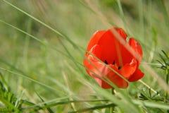 Primer del tulipán rojo hermoso en el campo de hierba verde Fotos de archivo