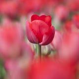 Primer del tulipán rojo en campo de flor holandés entre otros tulipanes Fotos de archivo libres de regalías