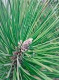 Primer del vástago del pino Imagenes de archivo
