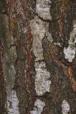Primer del verde de la corteza de abedul, blanco y gris Foto de archivo