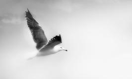 Primer del vuelo de la gaviota Imagen de archivo