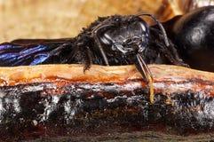 Primer del Xylocopa caucásico Valga de la abeja de carpintero con el huevo Imagen de archivo