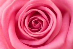 Primer detallado de una rosa hermosa del rosa Fotografía de archivo libre de regalías