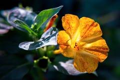 Primer diurético decorativo y curativo hermoso de la flor del mirabilis imagenes de archivo