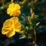 Primer diurético decorativo y curativo hermoso de la flor del mirabilis foto de archivo libre de regalías