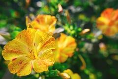 Primer diurético decorativo y curativo hermoso de la flor del mirabilis foto de archivo