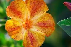 Primer diurético decorativo y curativo hermoso de la flor del mirabilis imágenes de archivo libres de regalías