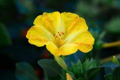 Primer diurético decorativo y curativo hermoso de la flor del mirabilis imagen de archivo