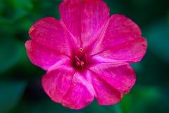 Primer diurético decorativo y curativo hermoso de la flor del mirabilis fotos de archivo