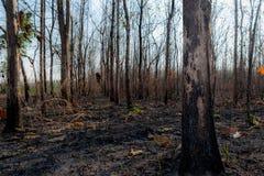 Primer el árbol en la más forrest después de quemadura del fuego imagenes de archivo