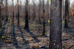 Primer el árbol en la más forrest después de quemadura del fuego foto de archivo libre de regalías