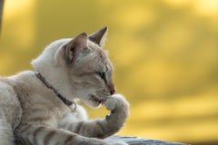 Primer el cuerpo limpio del gato gris El gato gris se lame Fotos de archivo