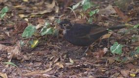 Primer El pájaro gris saca los gusanos de la tierra el pájaro cava su pico en la tierra Cámara lenta 4K almacen de metraje de vídeo