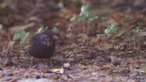 Primer El pájaro gris saca los gusanos de la tierra el pájaro cava su pico en la tierra Cámara lenta 4K almacen de video
