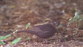 Primer El pájaro gris saca los gusanos de la tierra el pájaro cava su pico en la tierra Cámara lenta 4K metrajes