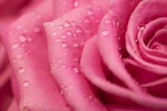 Primer elegante de la rosa del rosa Fotografía de archivo