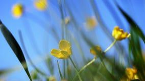 Primer, en el viento una pequeña flor amarilla que se sacude, contra un fondo de la hierba verde y de un cielo azul almacen de video