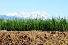 Primer en la cultivación del arroz Imagenes de archivo
