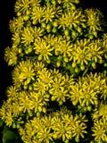Primer en la flor del Aeonium contra fondo negro Imagen de archivo libre de regalías