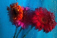 Primer en la flor rosada de la margarita del gerbera detrás de mojado Imágenes de archivo libres de regalías