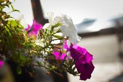 Primer en la flor rosada y blanca Foto de archivo