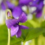 Primer en la flor violeta común con rocío Imagenes de archivo