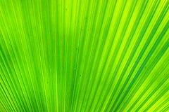 Primer en la hoja del verde de la palma para el fondo Imagen de archivo