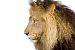 Primer en la pista de un león (8 años) - Panthera leo Foto de archivo