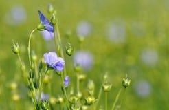 Primer en las flores del lino Imágenes de archivo libres de regalías