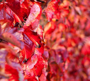 Primer en las hojas de otoño de descoloramiento. Foco de Shalow Foto de archivo libre de regalías