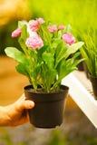 Primer en las manos que sostienen los crisoles de flores Imágenes de archivo libres de regalías