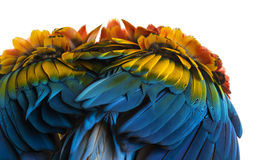 Primer en las plumas de un Macaw del escarlata (4 años) aisladas en w Fotos de archivo libres de regalías