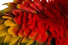 Primer en las plumas de un Macaw del escarlata (4 años) aisladas en w Fotos de archivo