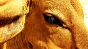 Primer en los ojos de una vaca marrón india fotografía de archivo libre de regalías