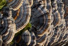 Primer en mushroooms del estante. Polyporus del hongo del árbol Imagenes de archivo