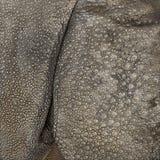 Primer en piel del rinoceronte indio Foto de archivo libre de regalías