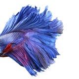 Primer en un cuerpo de los pescados, lucha siamesa azul Fotos de archivo libres de regalías