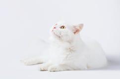 Primer en un gato blanco del angora delante de un fondo blanco Imagen de archivo libre de regalías
