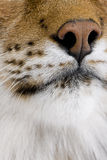 Primer en un hocico felino - lince eurasiático Foto de archivo libre de regalías