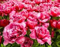 Primer en un macizo de flores rojo de los tulipanes Fotos de archivo libres de regalías
