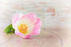 Primer en un solo tulipán en la tabla de madera, espacio del texto Fotografía de archivo