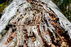 Primer en un tronco de árbol mojado de roble de la descomposición Foto de archivo
