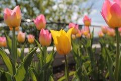 Primer en un tulipán amarillo entre las flores rosadas en un jardín Foto de archivo